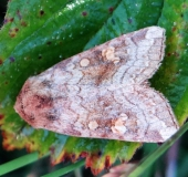 Gelbbraune Stengeleule (Amphipoea fucosa)-L. Klasing