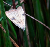 Seideneulchen · (Rivula sericealis)-L. Klasing