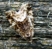 Waldrasen-Grasmotteneulchen (Protodeltote pygarga)-L. Klasing