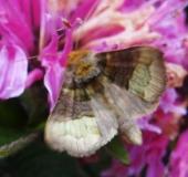 012-Messingeule-Diachrysia-chrysitis