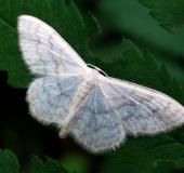Breitgebänderter Staudenspanner (Idaea-aversata (Form-remutata)-L. Klasing