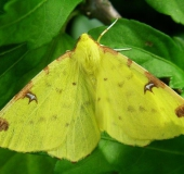 Gelbspanner (Opisthograptis luteolata)-L. Klasing