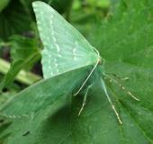001-Grünes-Blatt-Geometra-papilionaria