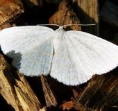 Weißspanner (Cabera pusaria)-L. Klasing
