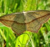 Schrägstreifiger Ampferspanner (Timandra grisiata)-L. Klasing