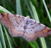 009-Eckflügelspanner-Macaria-liturata