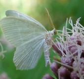 Weißstirn-Weißspanner (Cabera pusaria)-L. Klasing