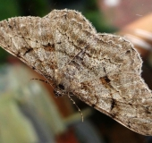 Rindenspanner (Peribatodes rhomboidaria)-L. Klasing