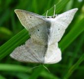 Paarung: Vierpunkt-Kleinspanner (Scopula immutata)-L. Klasing