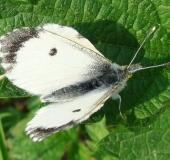 Aurorafalter w. (Anthocharis cardamines)