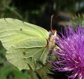 012-Zitronenfalter-Gonepteryx-rhamni