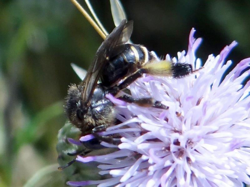 Wildbiene 2020 Auen-Schenkelbiene W. (Macropis europaea)-L. Klasing
