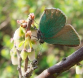 003-Brombeer-Zipfelfalter-Callophrys-rubi-L.-Klasing-