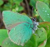 004-Brombeer-Zipfelfalter-Callophrys-rubi-L.-Klasing-