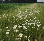 001-Blühstreifen-Magerwiesen-Margerite-Leucanthemum-vulgare-L.-Klasing-