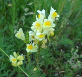 010-Blühstreifen-Echtes-Leinkraut-Linaria-vulgaris-L.-Klasing-