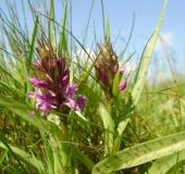 002Breitblättriges-Knabenkraut-Dactylorhiza-majalis-L.-Klasing