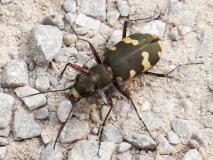 Dünen-Sandlaufkäfer (Cicindela hybrida) L. Klasing
