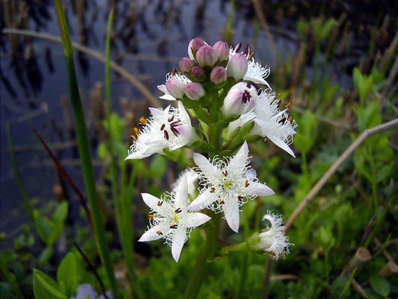 Fieberklee (Menyanthes trifoliata)-L. Klasing