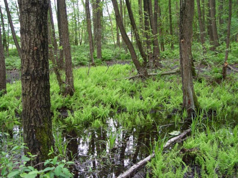 Sumpffarn (Thelipteris palustris) Frischhofsbach Hauenhorst-L. Klasing