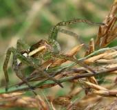 004-Spinne-2020-Gerandete-Jagdspinne-Dolomedes-fimbriatus-L.-Klasing