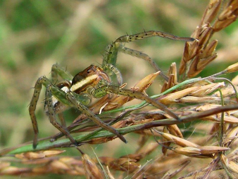Spinne 2020 Gerandete Jagdspinne W.  (Dolomedes fimbriatus)-L. Klasing