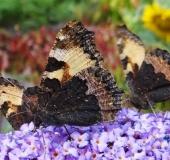 005-Kleiner-Fuchs-Aglais-urticaea-L.-Klasing