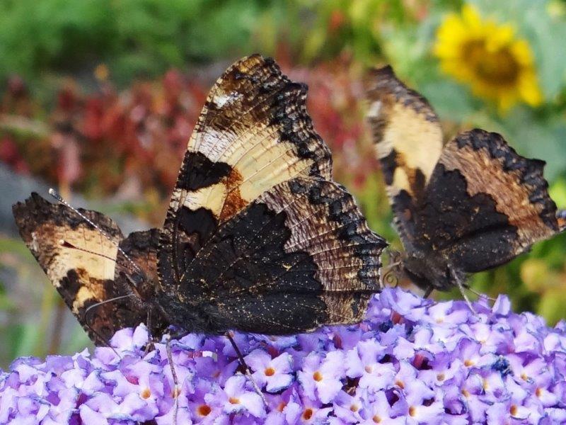 Kleiner-Fuchs-Aglais-urticaea-L.-Klasing