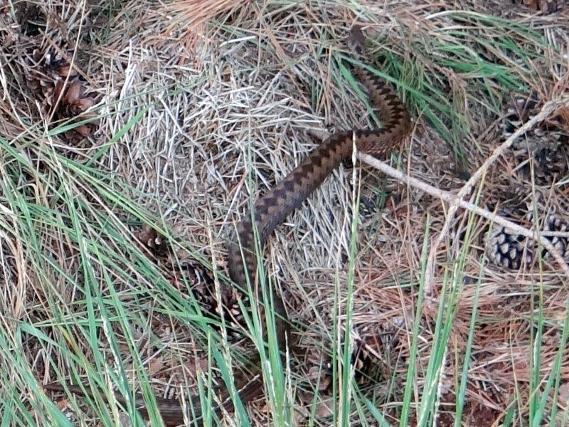 Kreuzotter (Vipera berus) L. Klasing