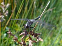 Schwarze Heidelibelle Männchen (Sympetrum danae) L. Klasing