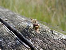 Schwarze Heidelibelle Weibchen (Sympetrum dannae) L. Klasing