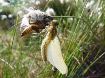Große Heidelibelle  (Sympetrum striolatum) L. Klasing