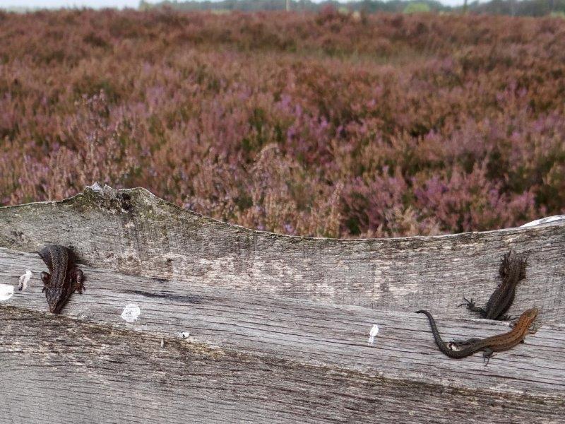 Wald-Moor-Bergeidechse (Lacerta vivipara)-L. Klasing