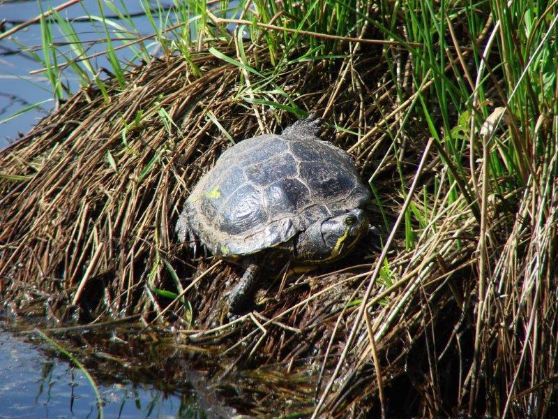 Gelbbauch-Schmuckschildkröte (Trachemys scripta scripta) im Emsdettener Venn-L. Klasing