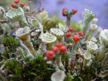Rotfrüchtige Säulenflechte (Cladonia floerkeana) L.-Klasing