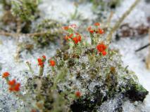 Rotfrüchtige Säulenflechte (Cladonia floerkeana) L. Klasing