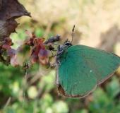001-Brombeer-Zipfelfalter-Callophrys-rubi-L.-Klasing