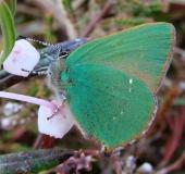 002-Brombeer-Zipfelfalter-Callophrys-rubi-L.-Klasing-0