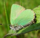 003-Brombeer-Zipfelfalter-Callophrys-rubi-Klasing