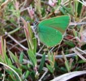 004-Brombeer-Zipfelfalter-Callophrys-rubi-L.-Klasing