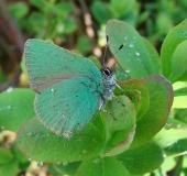 005-Brombeer-Zipfelfalter-Callophrys-rubi-L.-Klasing