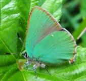 006-Brombeer-Zipfelfalter-Callophrys-rubi-L.-Klasing