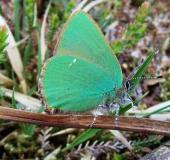 007-Brombeer-Zipfelfalter-Callophrys-rubi-L.-Klasing