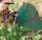 008-Brombeer-Zipfelfalter-Callophrys-rubi-L.-Klasing-050