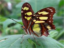 Malachitfalter (Siproeta stelenes)-L. Klasing