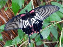 Großer Mormone (Papilio memnon)-L. Klasing