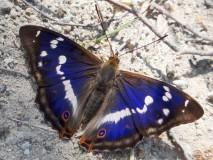 Großer Schillerfalter (Apatura iris)-L.-Klasing
