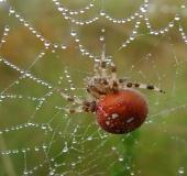 003-Vierfleckspinne-Araneus-quadratus-L.-Klasing