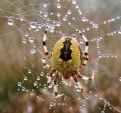 004-Marmorierte-Kreuzsp.-Araneus-marmoreus-var.-pyramidata-26.09.2008-L.-Klasing-116-227