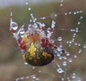 005-Kreuzspinne-Marmorierte-Araneus-marmoreus-L.-Klasing